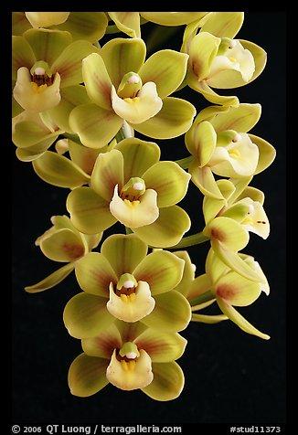 Cymbidium Sunshine Falls 'Butterball'. A hybrid orchid