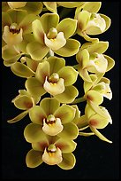 Cymbidium Sunshine Falls 'Butterball'. A hybrid orchid (color)