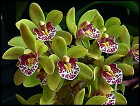 Cymbidium Tom Thumb 'Calliope'. A hybrid orchid (color)