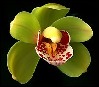 Cymbidium Tom Thumb 'Calliope' Flowers. A hybrid orchid (color)