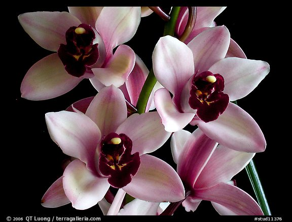 Cymbidium Yai 'Sweet Plum'. A hybrid orchid (color)