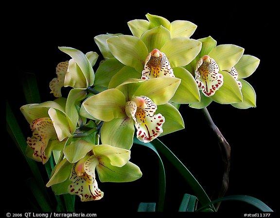 Cymbidium hybrid '10'. A hybrid orchid