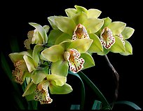 Cymbidium Fanfair. A hybrid orchid (color)