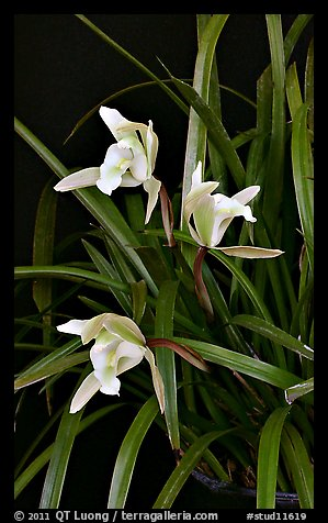 Cymbidium Oriental Elf. A hybrid orchid (color)