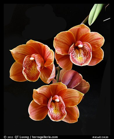 Cymbidium Devon Lord 'Viceroy'. A hybrid orchid (color)