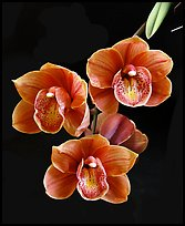 Cymbidium Devon Lord 'Viceroy'. A hybrid orchid ( color)