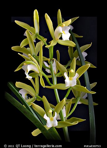 Cymbidium Alice William. A hybrid orchid (color)