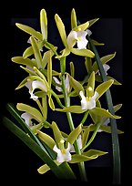 Cymbidium Alice William. A hybrid orchid ( color)