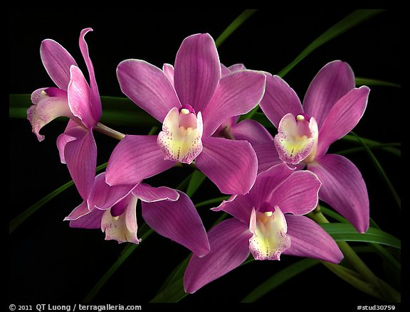 Cymbidium Baltic Sweetheart 'Sarah'. A hybrid orchid (color)