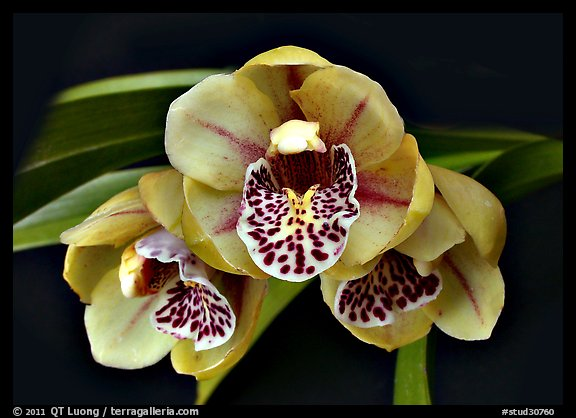 Cymbidium Be-Bop Delux 'Teeny Booper' Flower. A hybrid orchid (color)
