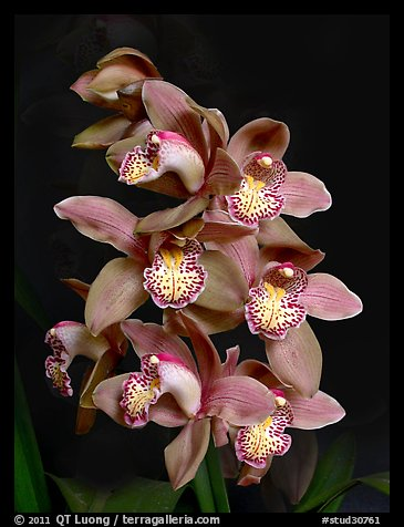 Cymbidium Big Deal 'Debbie'. A hybrid orchid (color)