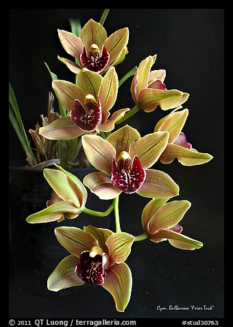 Cymbidium Bulbarrow 'Friar Tuck'. A hybrid orchid (color)