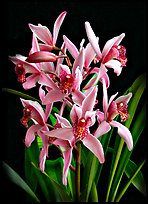 Cymbidium Cherry Blossom 'Profusion'. A hybrid orchid ( color)