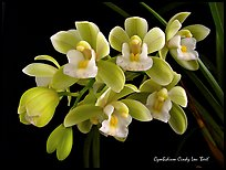 Cymbidium Cindy Lou 'Bert'. A hybrid orchid (color)