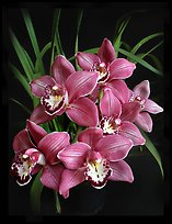 Cymbidium Claude Pepper 'Purple Splendor'. A hybrid orchid (color)
