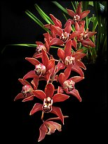 Cymbidium Devon Fire. A hybrid orchid (color)