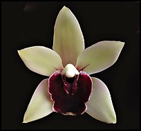 Cymbidium Devon Gala 'New Horizon' Flower. A hybrid orchid ( color)