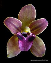 Cymbidium devonianum Flower.  A species orchid. A hybrid orchid ( color)
