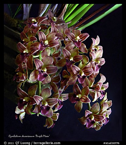 Cymbidium devonianum.  A species orchid. A hybrid orchid (color)