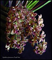 Cymbidium devonianum.  A species orchid. A hybrid orchid ( color)