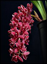Cymbidium Dorothy Stockstill 'Forgotten Fruit'. A hybrid orchid ( color)