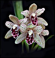 Cymbidium Dry Devon 'Meadow'. A hybrid orchid ( color)