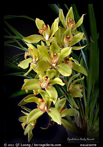 Cymbidium Early Harvest. A hybrid orchid (color)