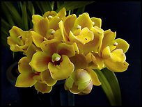 Cymbidium Cymbidium Eatern Wind. A hybrid orchid (color)