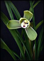 Cymbidium goeringii.  A species orchid.. A hybrid orchid ( color)