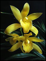 Cymbidium Golden Elf 'Sundust'. A hybrid orchid (color)
