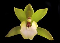 Cymbidium Hold That Tiger Flower. A hybrid orchid ( color)