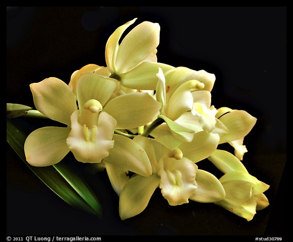 Cymbidium Honey Bunny 'Sugar Candy'. A hybrid orchid (color)