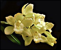 Cymbidium Honey Bunny 'Sugar Candy'. A hybrid orchid ( color)