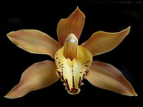 Cymbidium Hybrid '11' Flower. A hybrid orchid (color)