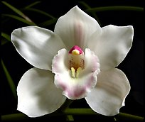 Lionello 'Coldsprings' Flower. A hybrid orchid (color)