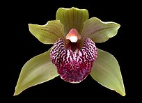 Cymbidium Little Darling Flower. A hybrid orchid (color)