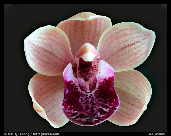 Cymbidium Mary Green 'Bing Cherry'. A hybrid orchid (color)