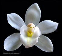 Cymbidium Melody Heart 'Snow Ripples' Flower. A hybrid orchid (color)