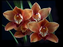 Cymbidium Mighty Margaret 'Wainakea Orange'. A hybrid orchid (color)