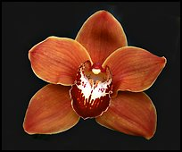 Cymbidium Mighty Sunset 'Annabelle' Flower. A hybrid orchid ( color)
