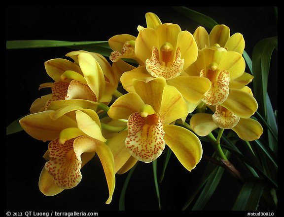 Cymbidium Mini Dream 'Gold Sovereign'. A hybrid orchid (color)