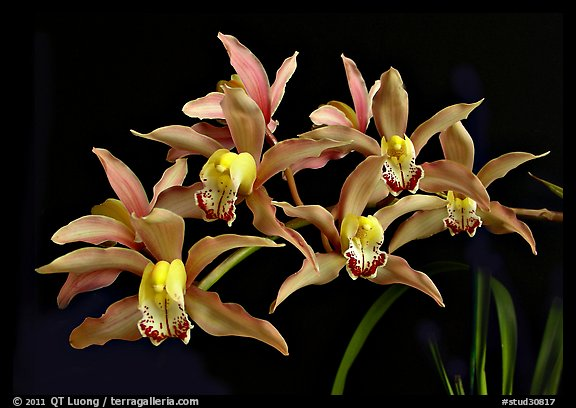 Cymbidium Pepper's Fire 'Fiesta' Flower. A hybrid orchid (color)