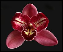 Cymbidium Pepper's Fire 'Fiesta'. A hybrid orchid (color)