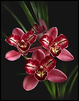 Cymbidium Pipeta 'Royal Gem' Flower. A hybrid orchid (color)