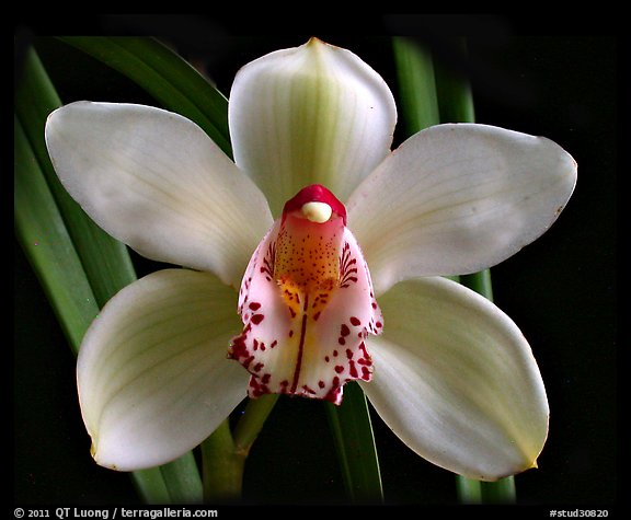 Cymbidium Peter Dawson 'Granadier'. A hybrid orchid (color)