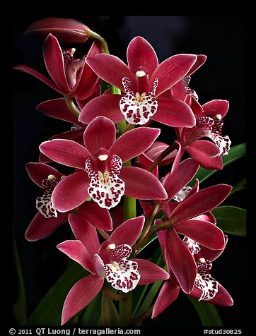 Cymbidium Pipeta 'Royal Gem'. A hybrid orchid (color)
