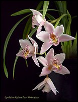 Radiant Beam 'Mother's Love'. A hybrid orchid (color)