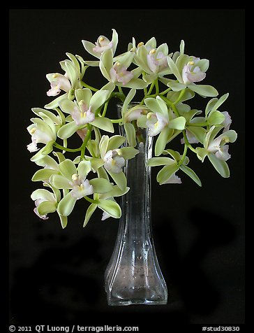 Cymbidium Sarah Jean 'Crystal Fall'. A hybrid orchid (color)