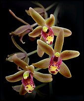 Cymbidium Scallywag. A hybrid orchid (color)