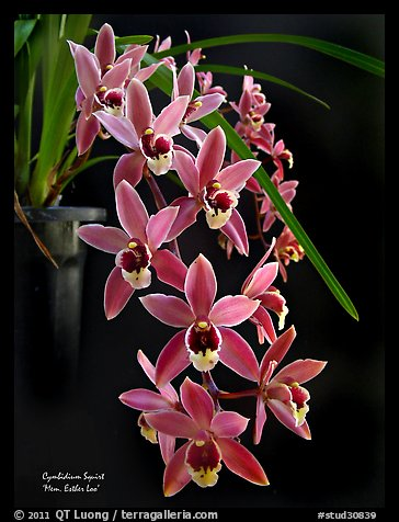 Cymbidium Squirt 'Mem. Esther Loo'. A hybrid orchid (color)